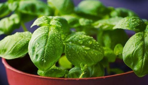 趣味どきっ!香りらいふ:バジル農家さん直伝美味しく食べる知恵
