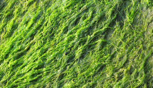 たけしの家庭の医学:内臓脂肪を減らす海藻のアカモクとは?その食べ方も大公開!