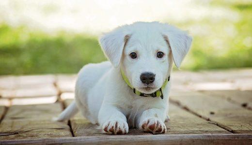 所さんの目がテン!ザギトワ愛する秋田犬の魅力とは?