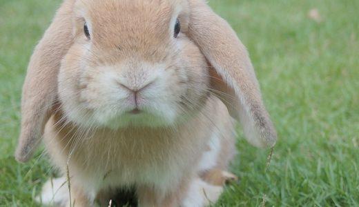 チコちゃんに叱られる!なぜ学校でウサギを飼うの?