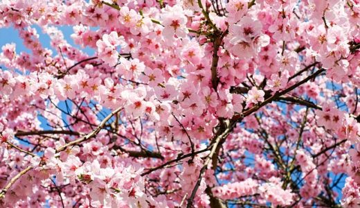 チコちゃんに叱られる!なぜ桜の下でどんちゃん騒ぎをするの?